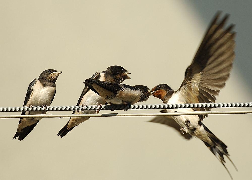 Drei hungrige Schnäbel