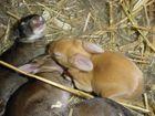 Drei junge Kaninchen