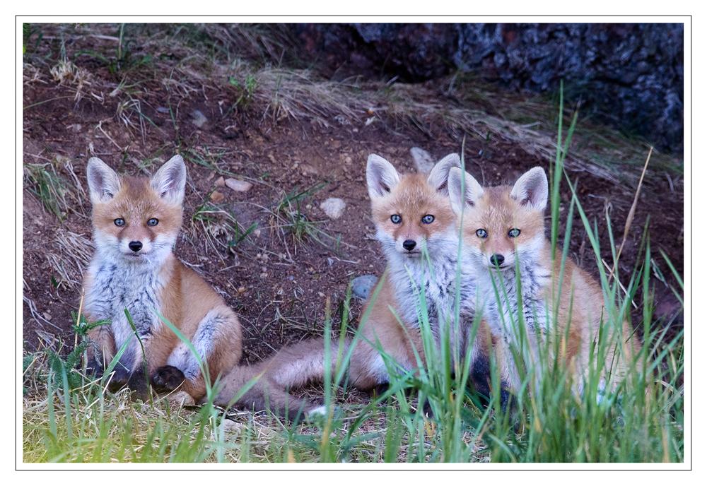 drei kleine Füchse