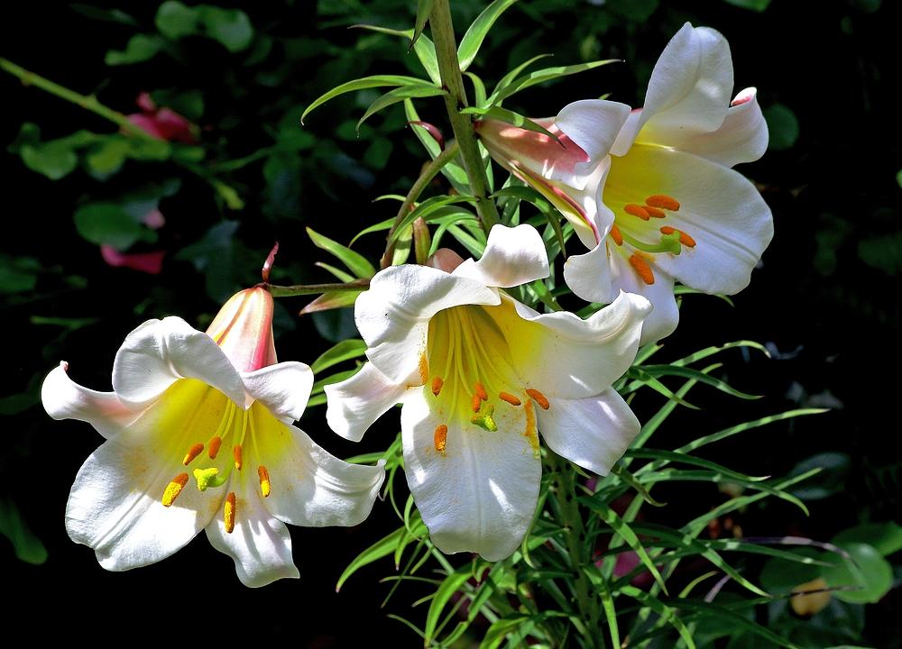 Drei Lilien