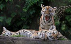 Drei müde Tigerkinder
