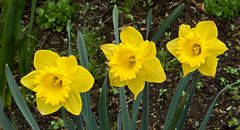 Drei Narzissen in voller Blüte!