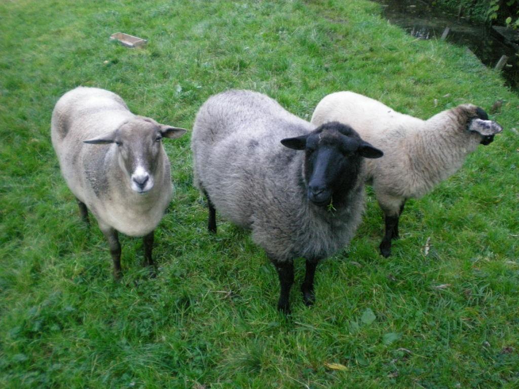 Drei Schafe aus Sachsen