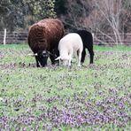 drei  Schafe im Klee / ein Foto von SK