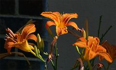 Drei Taglilien im Sonnenlicht des Nachmittags