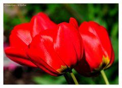 ---- Drei Tulpen ----