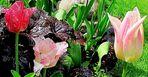 Drei Tulpen im Garten