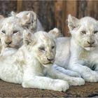 Drei von vier weißen Löwenbabys.....
