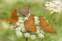 Drei Weibchen und ein Männchen...