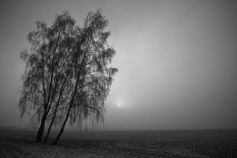 Drei weiße Birken ...