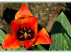 Dreiecks-Tulpe
