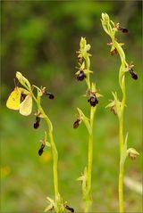 Dreierpack: Orchideenhybride mit Gelblingspärchen und Wolli
