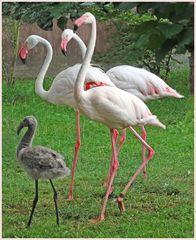 Dreifach behütet (Flamingogehege im Zoo Neuwied)