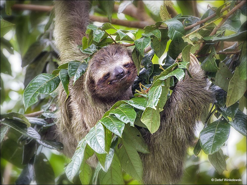 Dreifinger-Faultier Foto & Bild   tiere, wildlife, natur ...