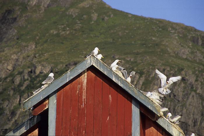 Dreizehenmöwen Kolonie auf alten Speicherhäusern Å