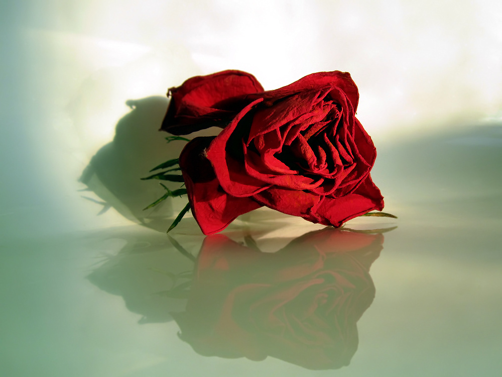 Dried rose flower