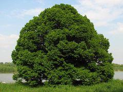 Dritter Besuch beim Lieblingsbaum: Bereits in vollem Saft!