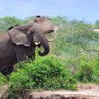 Drohender Elefant am Kazinga Channel – Uganda