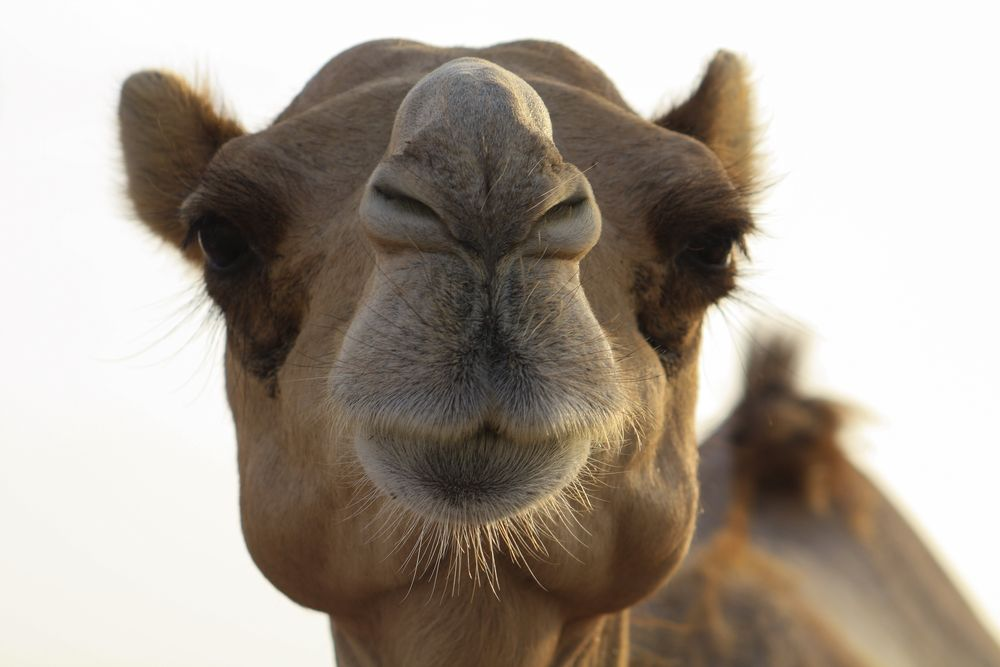 Bild Kamel