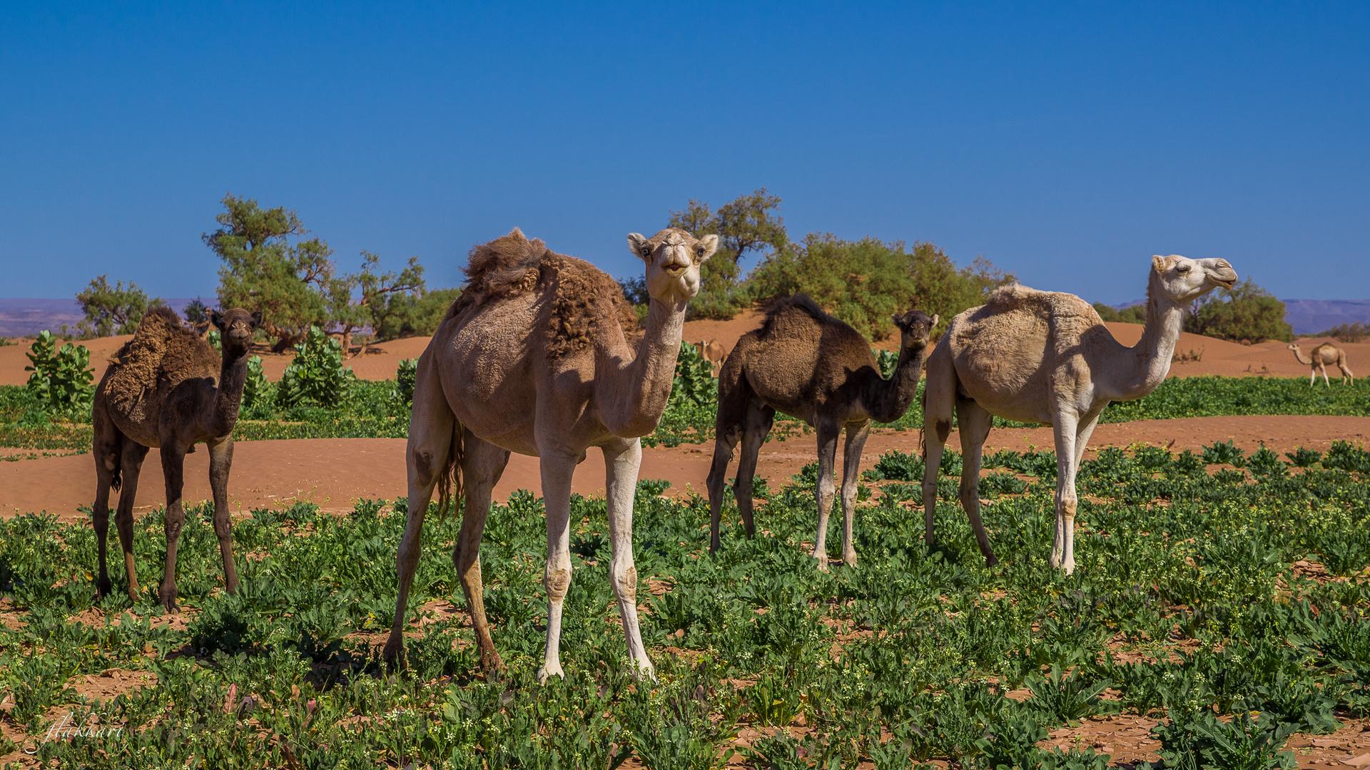 Dromedar oder Kamel?
