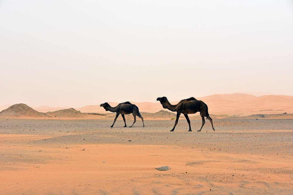 Dromedare in der Erg Chebbi in Marokko