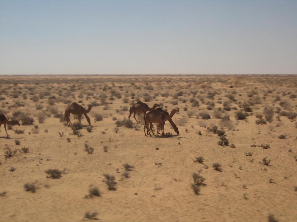Dromedare (Tunesien)
