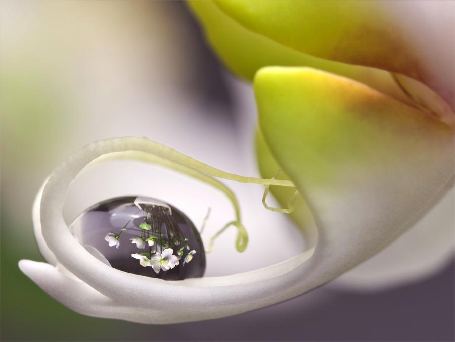 dropflower