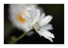 ... drops of flowers ...