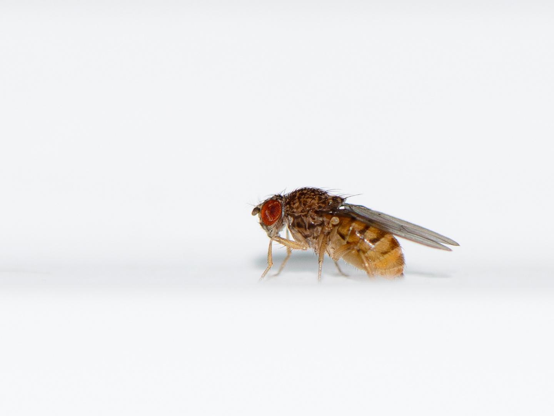 Drosophila melanogaster (Fruchfliege)