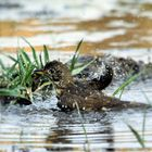 Drossel am baden