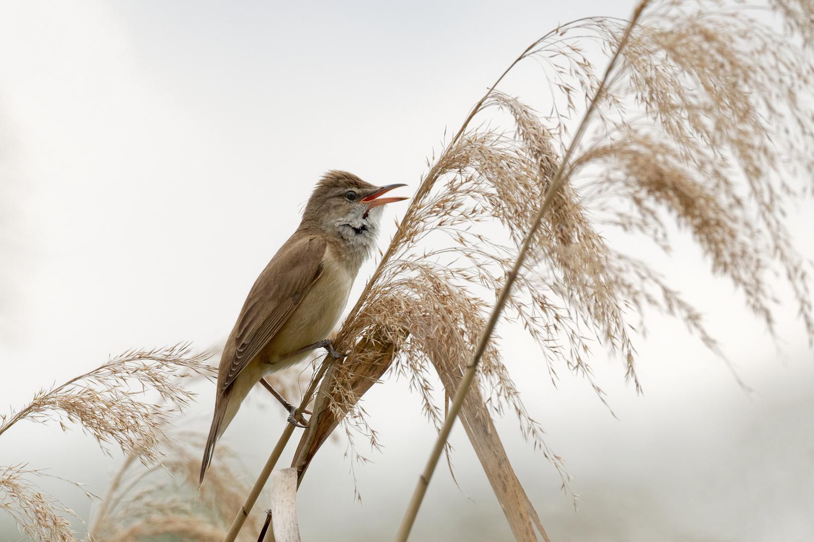 Drosselrohrsänger (Acrocephalus arundinaceus),  ein lauter Sänger