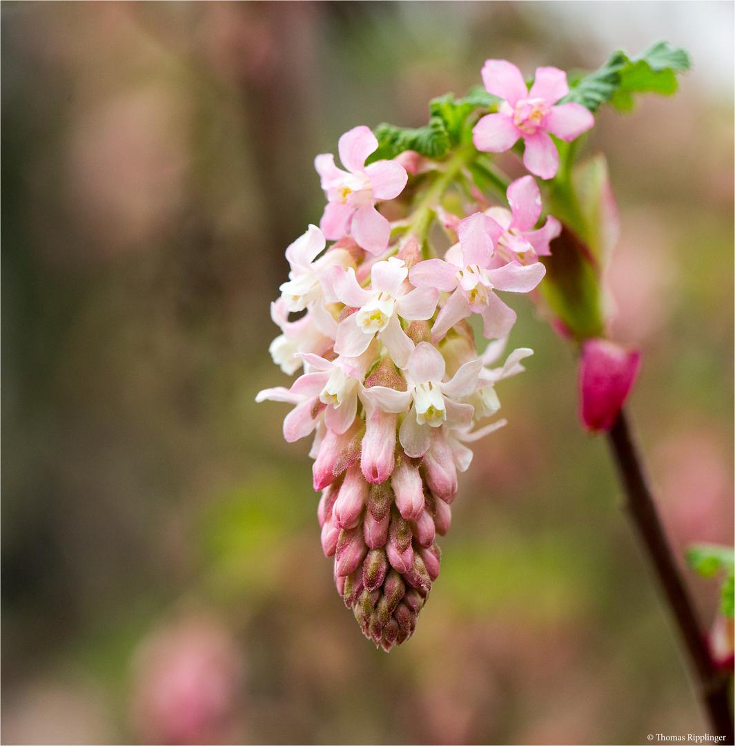Drüsige Blut Johannisbeere (Ribes sanguineum var. Glutinosum)