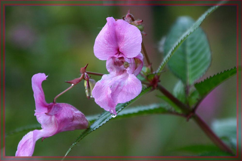Drüsiges Springkrautblüte