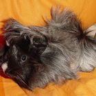 Drugo, unser hübsches Meerschweinchen!