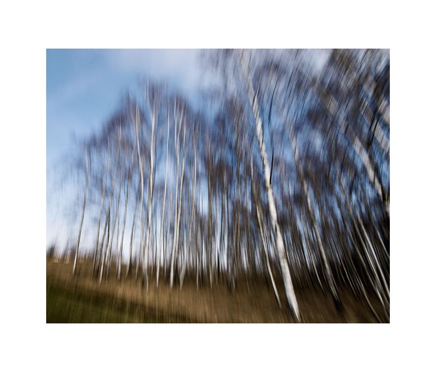 drunken birch trees