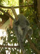drunken koala