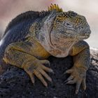 Drusenkopf oder Galapagos-Landleguan