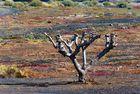 ... dry tree on Playa Blanca of Lanzarote