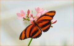 Dryandula phaetusa