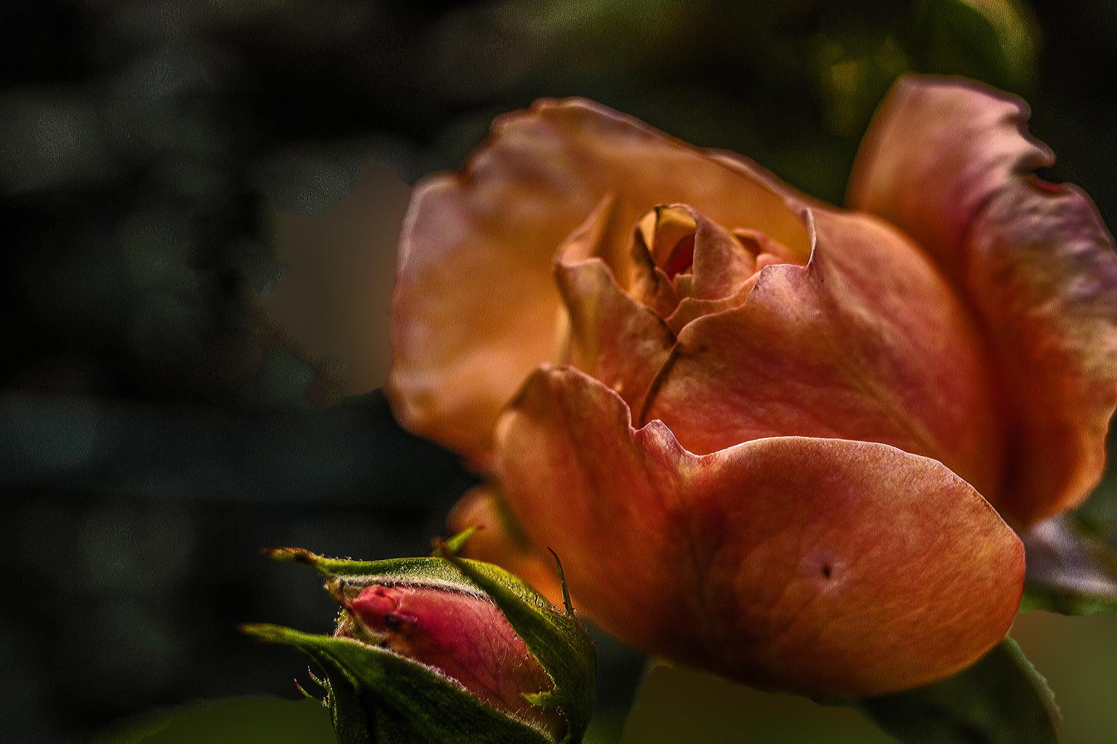 DSC03912 Rose, rostrot