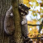 DSC_1199 Waschbär im Baum
