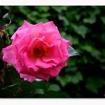 _DSC2123 - Rose Catherine