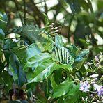 Dschungeldrache
