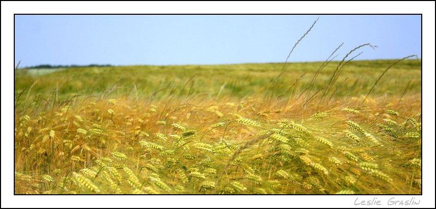 du blé, du blé et encore du blé....