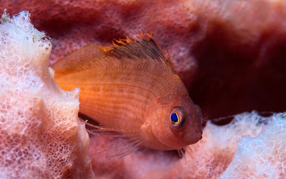 Du Cyklop-Ich Korallenwächter