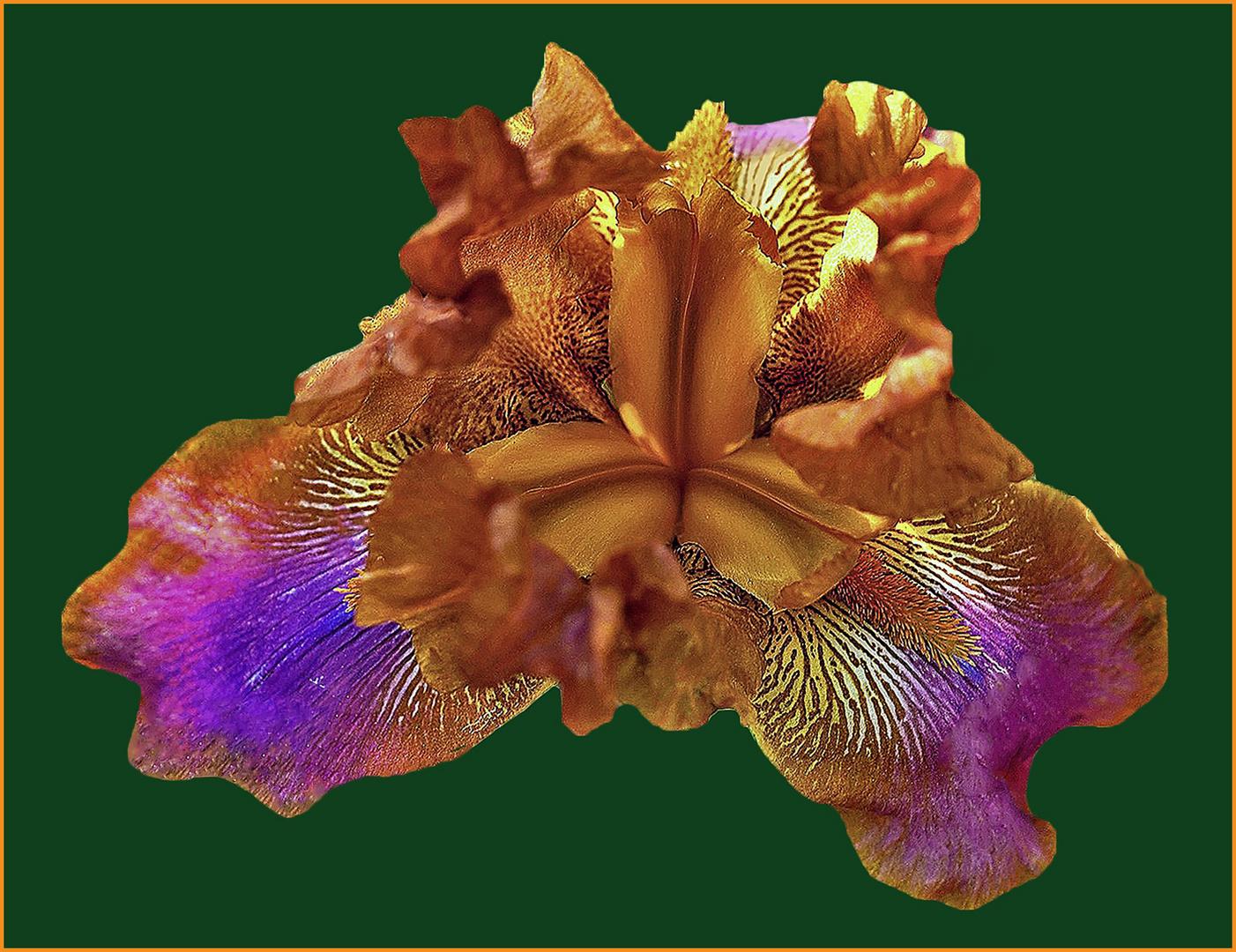 du jardin des iris de florence....
