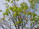 Du narrischer Kastanienbaum, du blühst jetzt im September.........