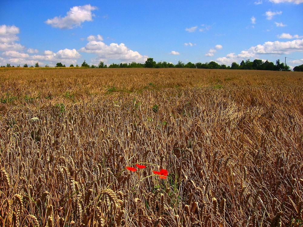 du rouge dans les blés