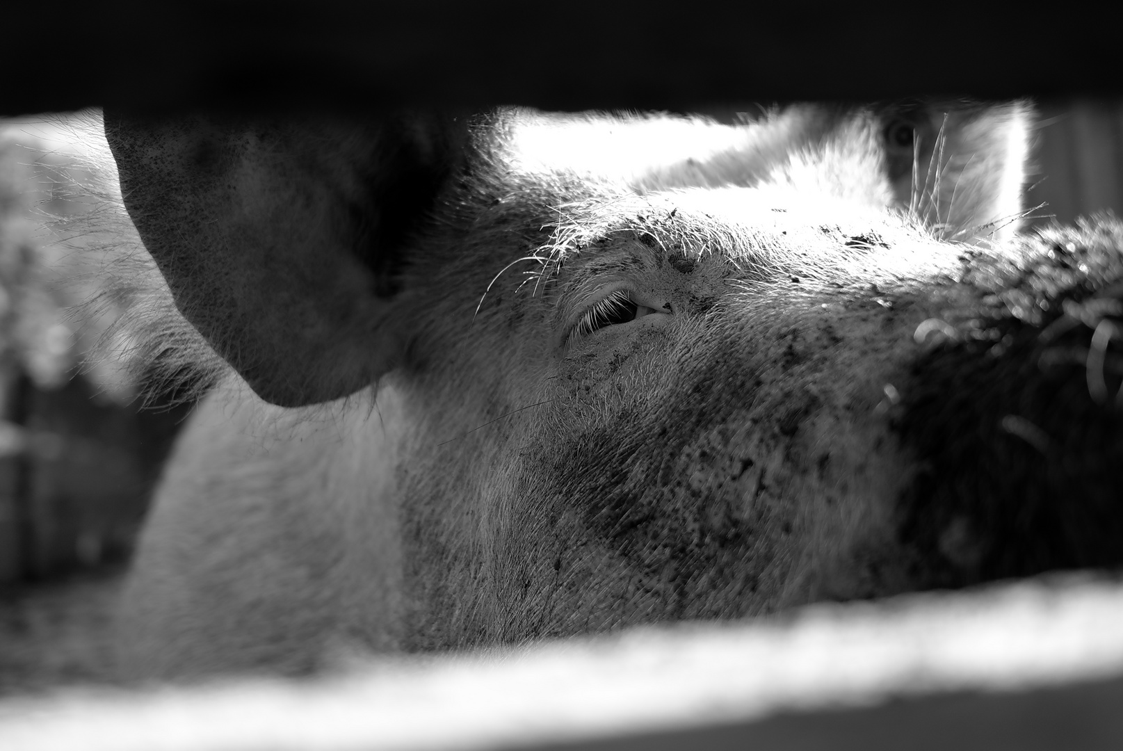 Du Schwein