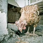 Du verrücktes Huhn